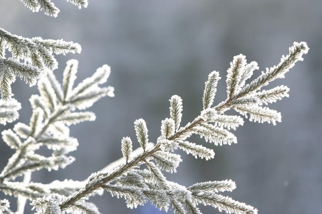 Zasneženo igličnato drevo_zimska makro fotografija