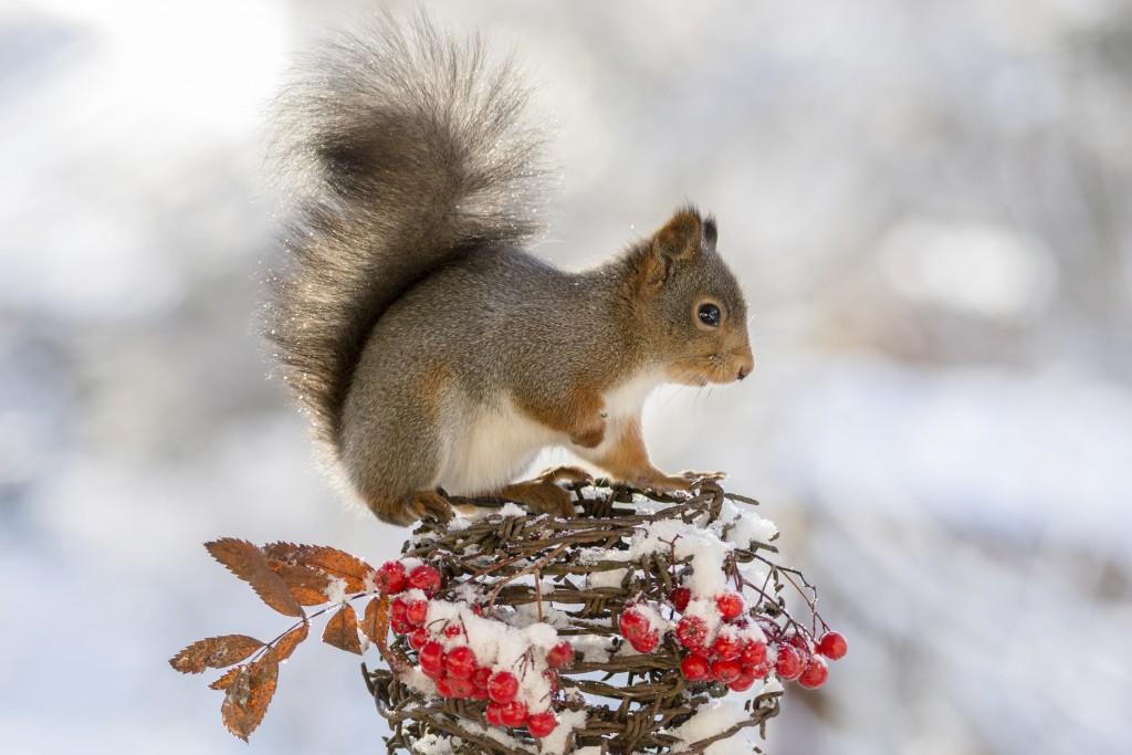 Zimski portret veveričke