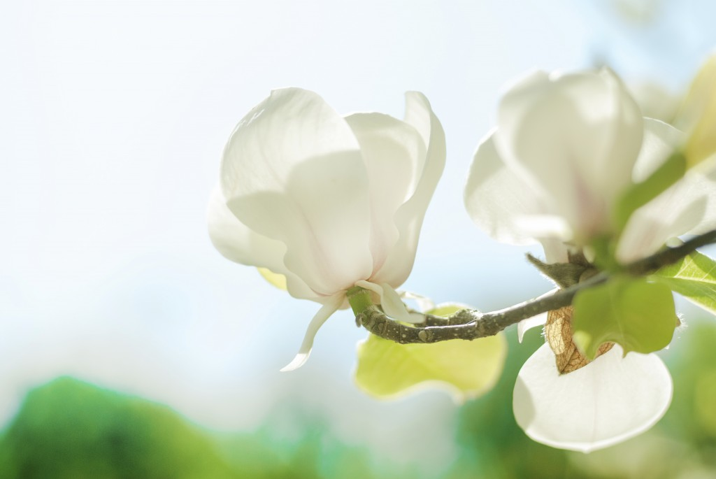 Bel cvet magnoloje - majhn globina polja