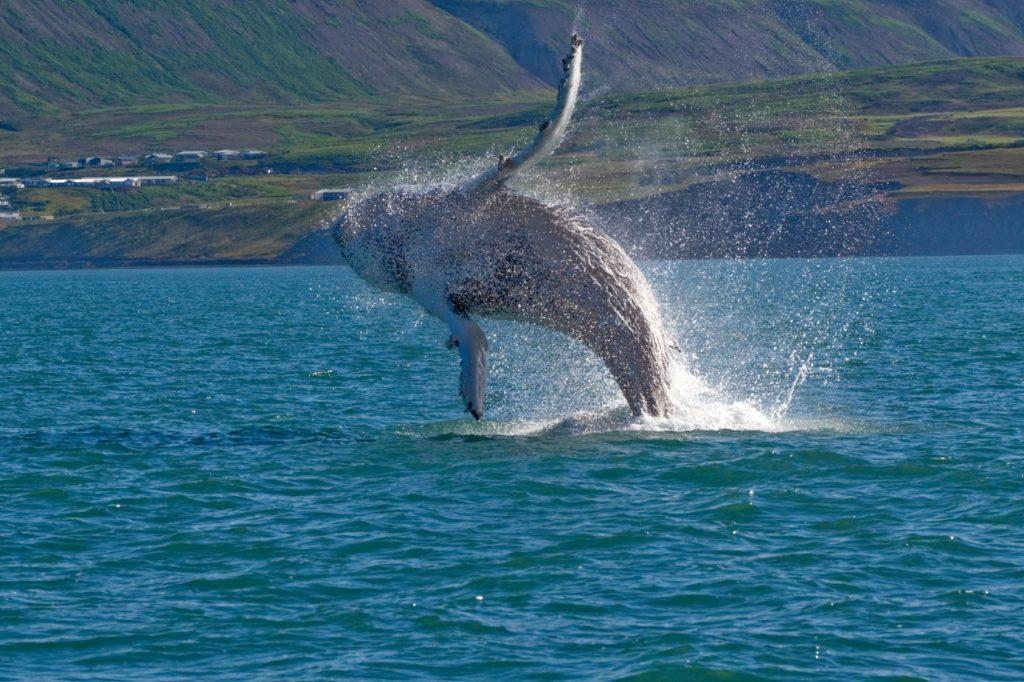 whale_show_husavic_city2