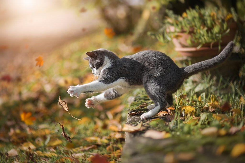skok mačke, jesensko listje, sivo-bela mačka
