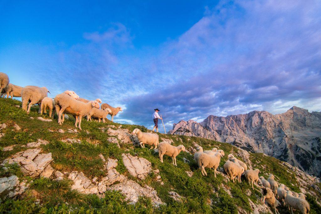 pastir s palico, ovce, planine, gorski svet, alpski svet